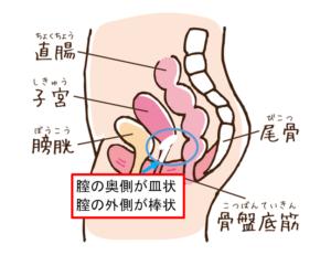ゲルホーン膣内図